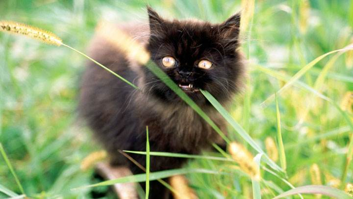 Front Pose Of Black Little  Cat In Field